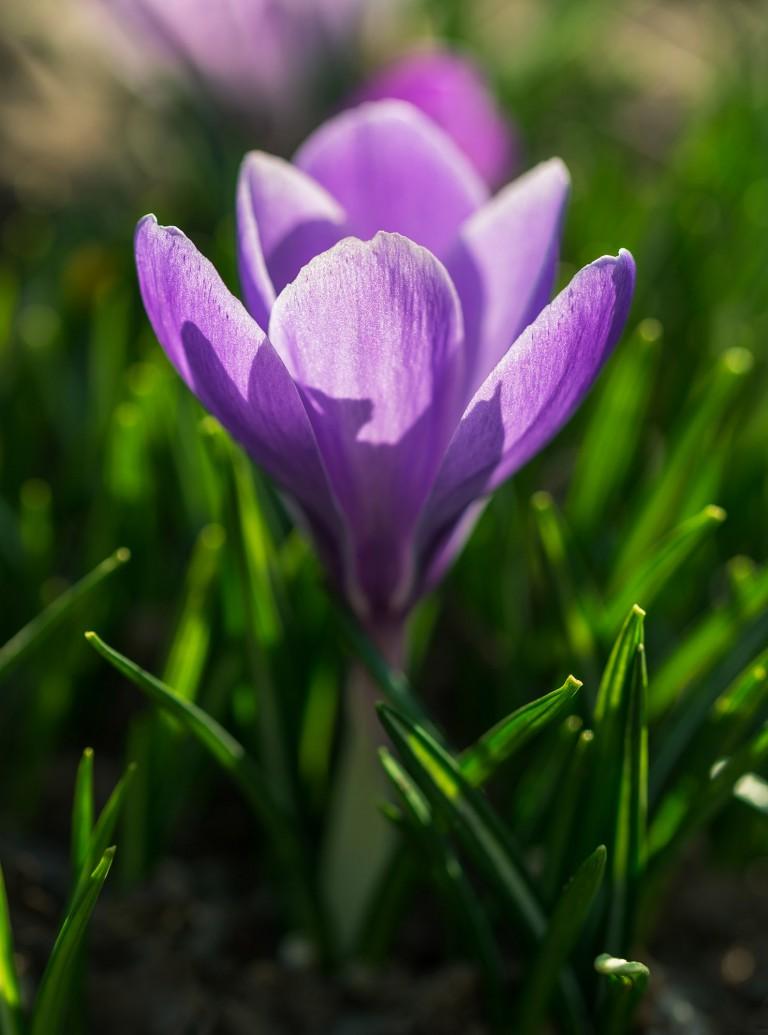 Saffron flower in the spring